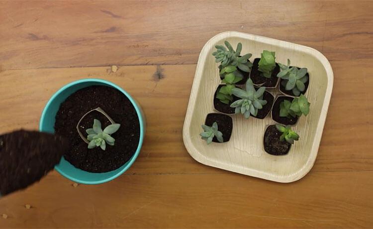 Plantando a sementeira.