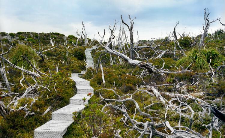 Austrália: Mount Red, na Tasmania, tem pinheiros-de-huon mortos aos 10,5 mil anos