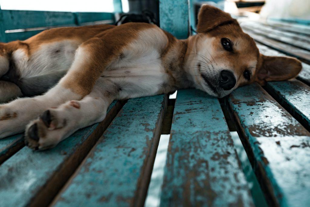 Adoção de cachorro