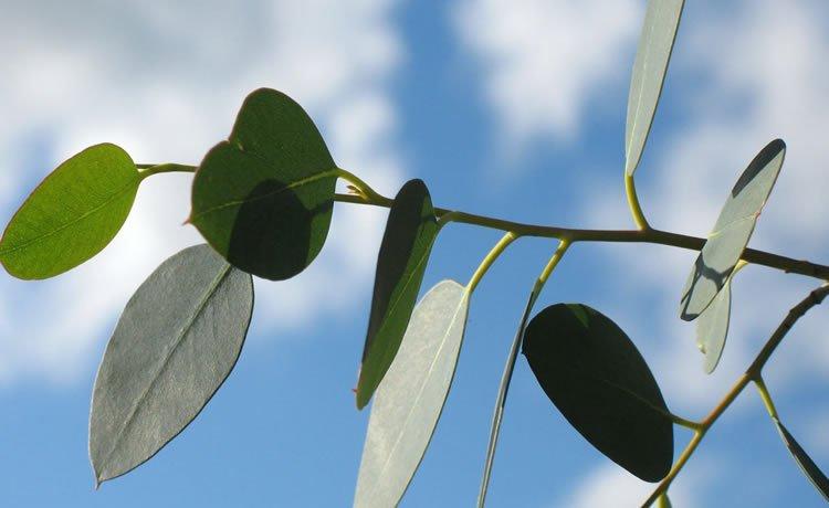 Folha de eucalipto