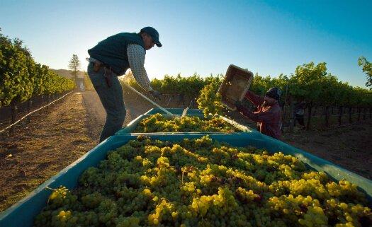 cultivo uva