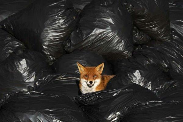 Raposa e sacos de lixo