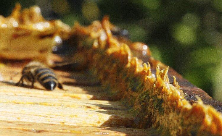 Substância produzida por abelhas, o própolis possui diversas variedades e benefícios