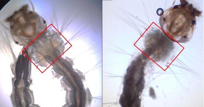 Larva da cana-de-açúcar