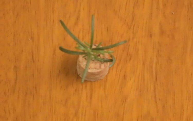 Planta na rolha