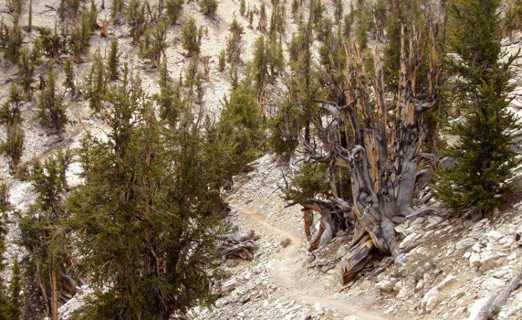 árvore Matusalém