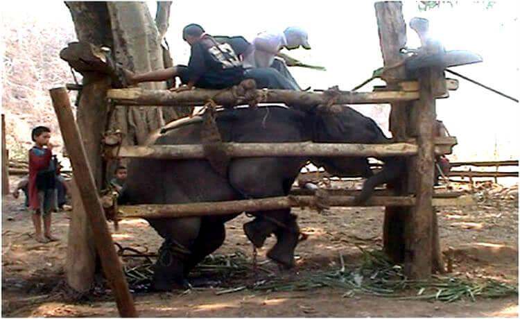 elefante é enclausurado e espancado exaustivamente