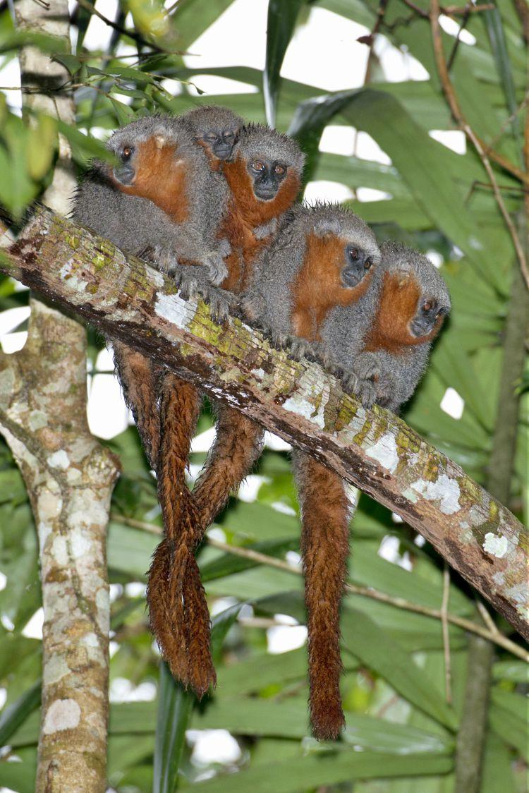 Macaco zogue-zogue-rabo-de-fogo (Plecturocebus miltoni)