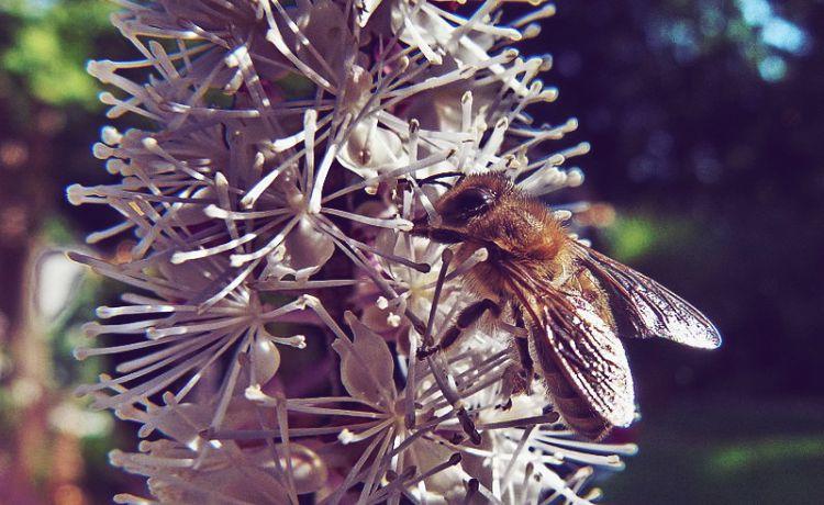 flor do cohosh preto