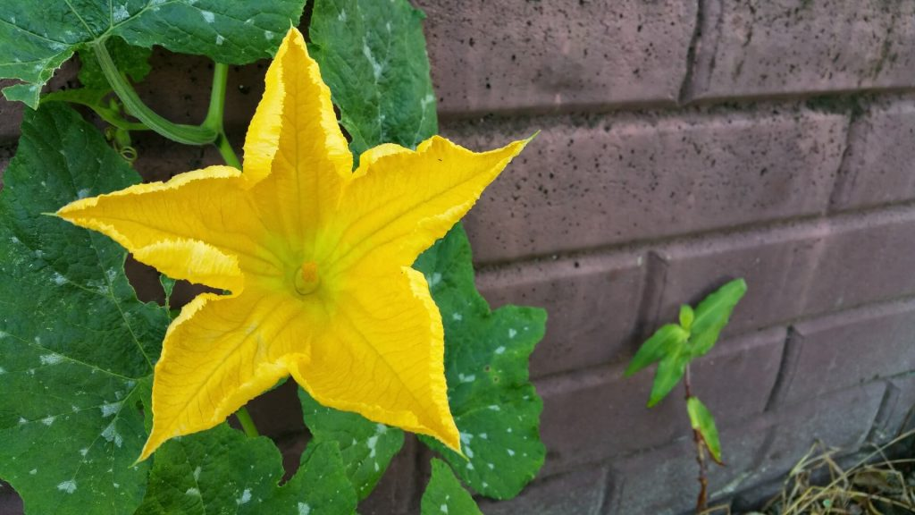 A abobrinha é uma planta trepadeira