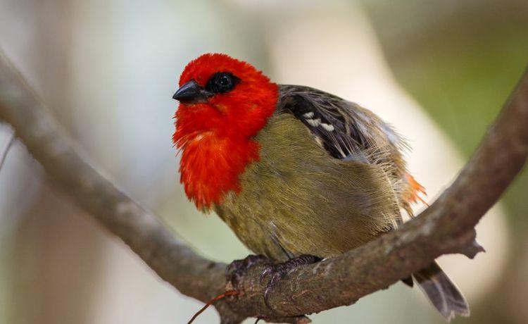 pássaro vermelho