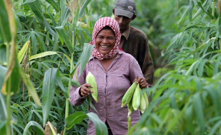 A cambojana Thoeun faz a colheita do milho na sua propriedade rural, em Kampong Cham, Camboja.