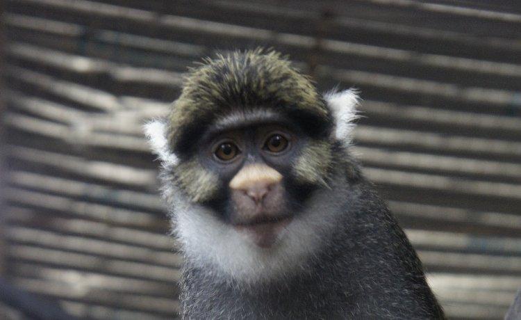 Macaco-de-Sclater