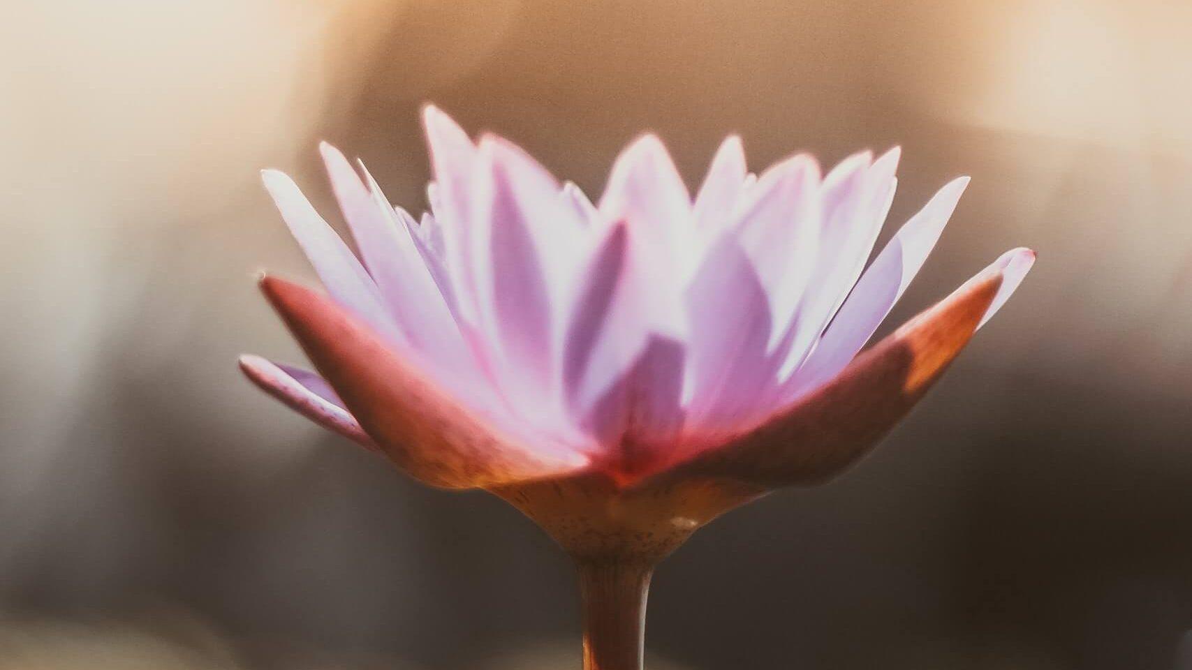 Flor de lótus